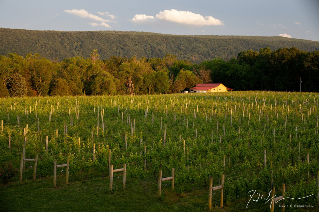 """""""The Winery"""" - The winery & vineyard bathed in the late summer sun at Muse Vineyards. (Woodstock, Virginia.)"""