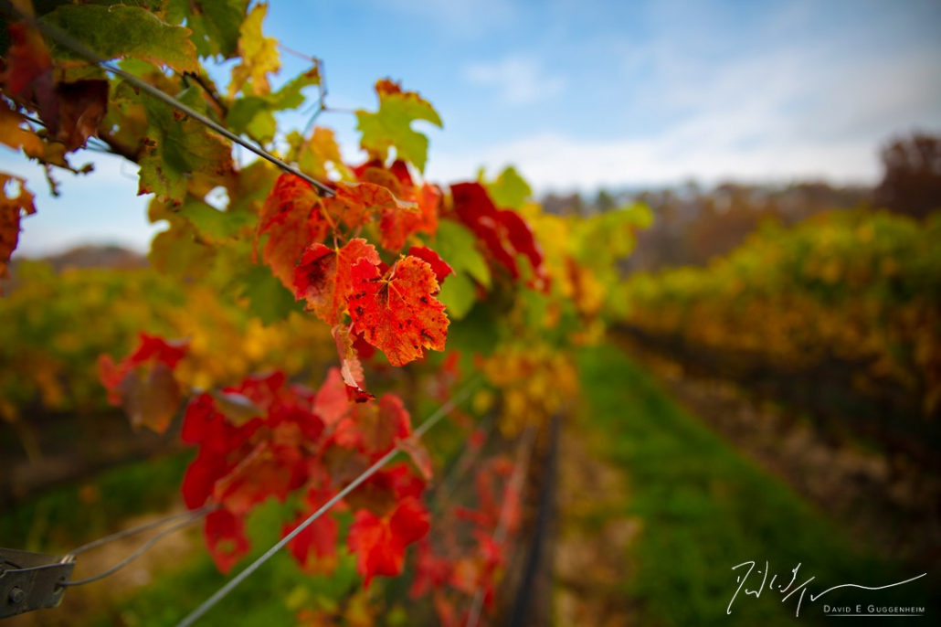 """""""Fall in the Vineyard"""" - The exquisite fall colors are not limited to trees. The vineyard bursts with color and tranquility on an October morning. (Muse Vineyards, Woodstock, Virginia).."""