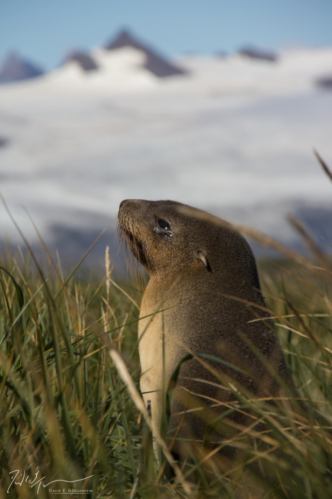 """""""Antarctic Pup"""" - A newborn Antarctic fur seal. Sealing drove the species to near-extinction in the 19th century. Populations have been recovering since sealing ceased in the early 20th century."""