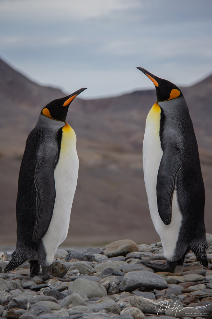 """""""Doubletake"""" - A pair of king penguins stand motionless in symmetry on South Georgia Island."""