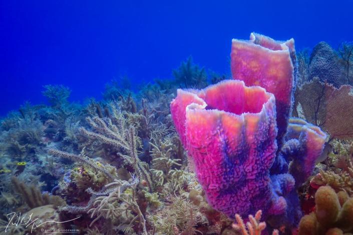 """Pink Vases"" - Pink vase sponges (Niphates digitalis) among soft corals off Cuba's southern coast."