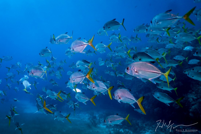 """""""River of Fish"""" - A large school of horse-eye jacks, slowly winds its way through the corals."""