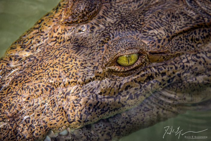 """""""Cocodrilo"""" - A young American crocodile peers above the shallow waters of southern Cuba. Crocodiles thrive in both fresh & saltwater versus alligators which prefer fresh water."""
