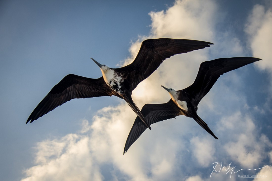 """""""Frigates"""" - A pair of frigate birds soar overhead at sunrise. With a wingspan of up to 7 feet, frigates can remain aloft for months at altitudes up to 12,000 feet."""