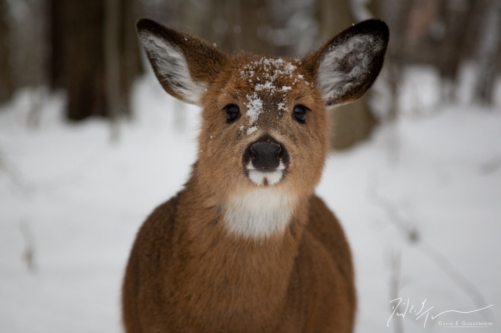 """""""Such a Deer"""" - An unusually social deer pays a visit, its snowy snout revealing its morning of foraging for food beneath the snow. (Canaan Valley, West Virginia)"""